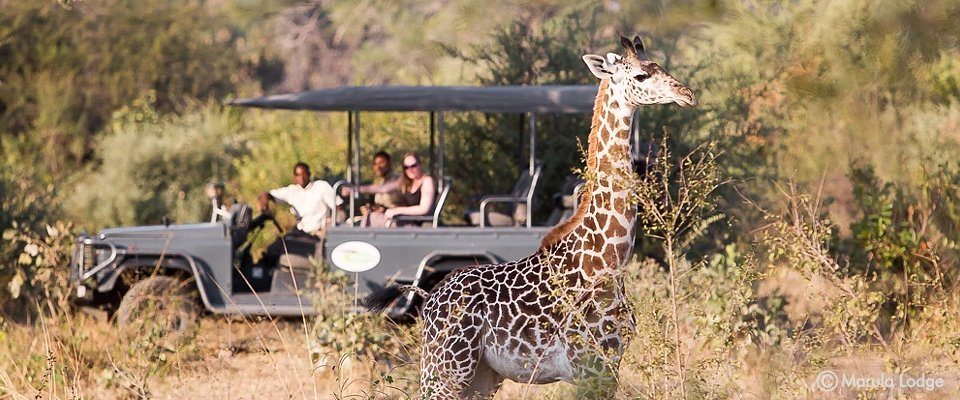 Giraffe on a game drive at Marula Lodge in Zambia