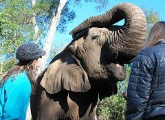 Touching elephants at Elephant Sanctuary in The Crags
