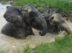 Elephants in the dam at Elephant Sanctuary in The Crags