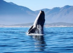 Watching a whale jumping on Hermanus Whale Cruises
