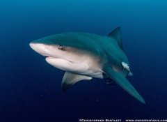 Indigo Safaris's shark diving in Zululand in South Africa