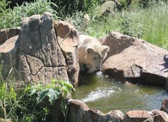 White lion drinking at Love Lions Alive Sanctuary