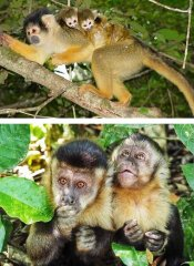 Squirrel and capuchin monkeys in The Crags at Monkeyland