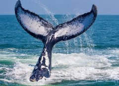 Photographing a whale tail with Ocean Odyssey in Knysna