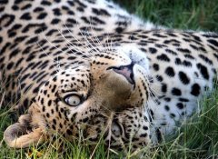 Leopard at Pumba Game Reserve Safaris in Grahamstown