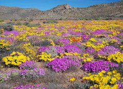 See the Namaqua flowers with Richtersveld Tours
