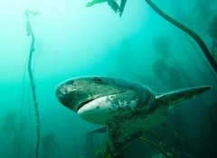 Gill Cow shark diving in Cape Town with Shark Bookings