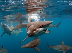 Go shark week diving in Durban with Shark Bookings