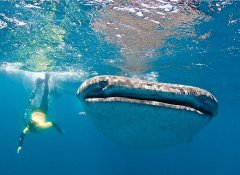 See whale sharks on a dive with Shark Bookings