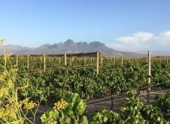 Grape Vines and Mountain View at Spier in Stellenbosch