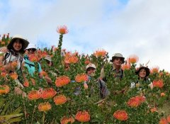 Proteas when hiking in the Overberg on The Fynbos Trail