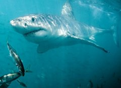 View a Great White on a White Shark Diving Company trip